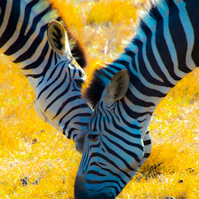 Zebra times 2 by Adriaan Vlok - Animals Other Mammals ( two zebra, zebra,  )