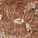 Fir Engraver Beetle tracks