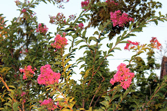 Photo: Crape myrtle, once rarely in New York, has become an increasingly common planting. (Ellis Simon, Long Island)