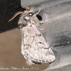 Processionary Pine Moth