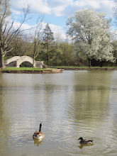 Photo: A goose and a duck swimming in front of a stone bridge and blossoming pear tree at Eastwood Park in Dayton, Ohio.
