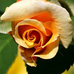 golden rose by Zoltan Szabo - Nature Up Close Flowers - 2011-2013