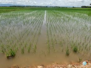 Photo: SRI Experimental field, FPAR (Pichai, Uttaradit)