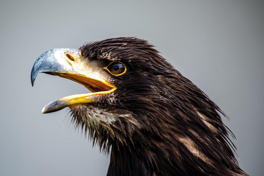 by Ralf  Harimau - Animals Birds ( freisen, eagle, adler )
