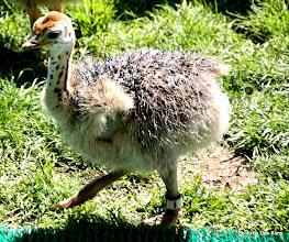 Photo: (Year 3) Day 23 - Baby Ostrich #1