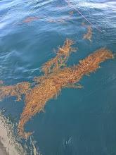 Photo: ・・・最近、「流れ藻」が悩ませます。 航行中にプロペラに巻いたり、回収中のジグやラインにからんだりして。
