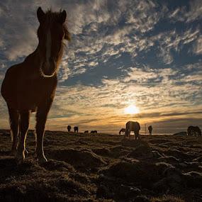 Sunset by Bragi Kort - Animals Horses
