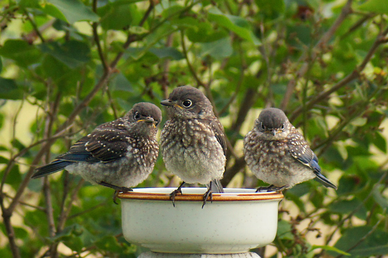 Photo: Trouble Times Three  What this photo lacks in technical quality it more than makes up for in cute. These young roughians from the neighborhood (Eastern Bluebirds hatched this spring) seem to be displaying a bit of youthful defiance. #breakfastclub by +Gemma Costa& +Andrea Martinez. #birds #bluebirds   www.PopsDigital.com