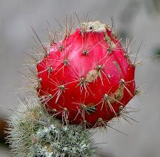 Photo: Cactus fruit at Casa Mojanda