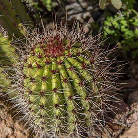 Barrel Cactus by Ruth Sano - Nature Up Close Other plants ( arizona, cactus, desert, pipe organ cactus national park,  )