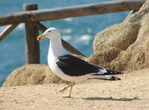 Photo: Kelp gull - near Vina del Mar on Pacific Ocean -  Chile - Nov. 15, 2010