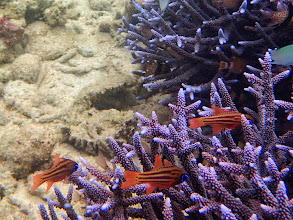 Photo: Apogon compressus (Ochre-Striped or Split-banded Cardinalfish), Chindonan Island, Palawan, Philippines.