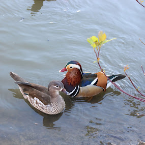 Two little ducks by Michelle Ng - Animals Other ( swimming, nature, duck, relaxing, ducks, wildlife,  )