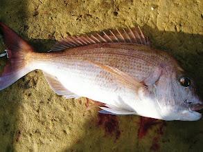 Photo: 今日一番の真鯛でした! 3kgオーバーかな?