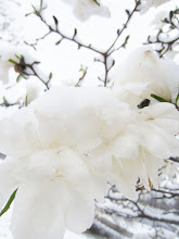Photo: Snow on white magnolias at Cox Arboretum in Dayton, Ohio.