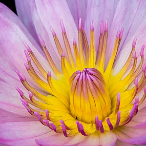 Persian Lilac Water Lily by Eric Gaston - Nature Up Close Flowers - 2011-2013 ( nature, lily, outdoors, summer, pennsylvania, flower )