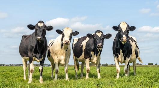 ¡Apártense vacas!