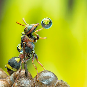 Wasp by Carrot Lim - Animals Insects & Spiders ( macro, wasp, insect,  )