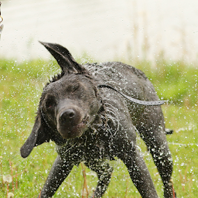 by Dave Hollub - Animals - Dogs Playing (  )