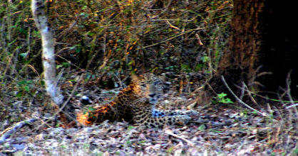 Photo: a leopard at long range