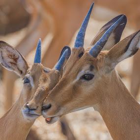 Tender by Rian Van Schalkwyk - Animals Other Mammals ( impala, tender, antilope )