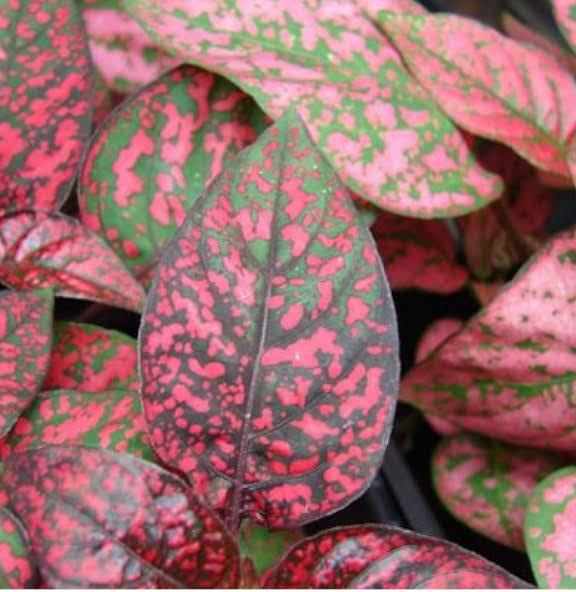 Hypoestes phyllostachya planta de hojas rojas
