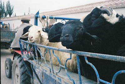 荷台の上の羊