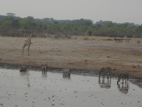 Photo: Zebras drinking, giraffe watching, elephant coming towards the waterhole from the trees in the distance