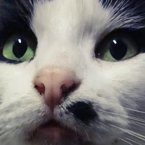 marilyn monroe kitty by Serenity Deliz - Animals - Cats Portraits ( marilyn monroe kitty, cat, kitty )