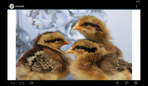 Baby Chick Wallpaper