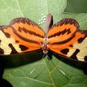 Disturbed tigerwing