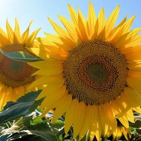Sunflowers by Heather Aplin - Nature Up Close Flowers - 2011-2013 ( field, bright, sunflower, france, yellow, sun, crop,  )