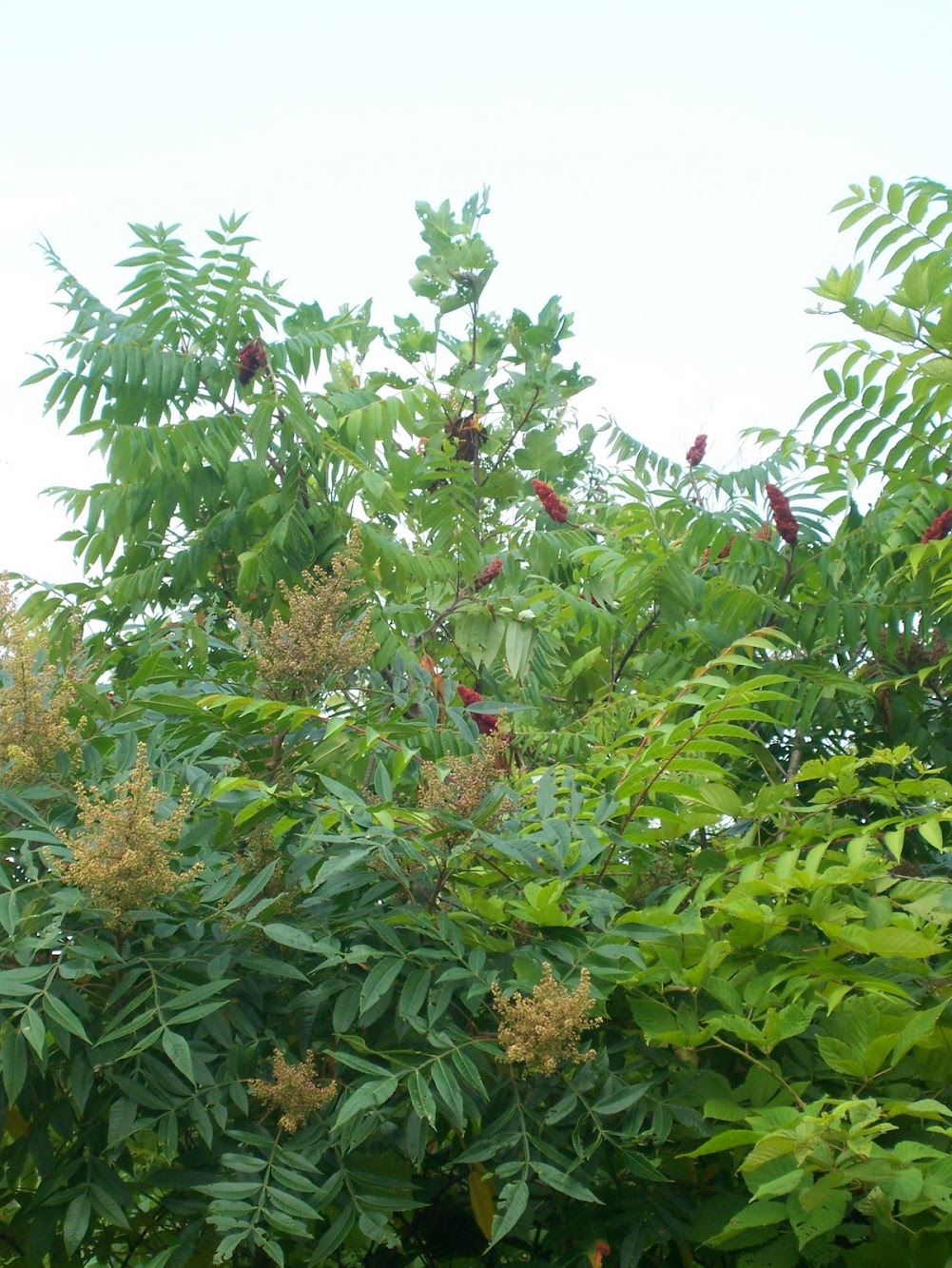 Cooking with Staghorn Sumac
