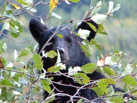 Bear Cub Closeup