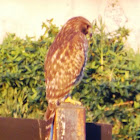 Red-shouldered Hawk - juvenile
