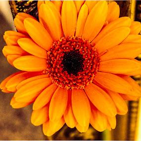 Firey flower by Raymond Fitzgerald - Flowers Single Flower ( orange, close up, photo, petals, flower )