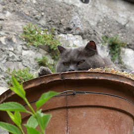 Lugano, Ticino, Switzerland by Serguei Ouklonski - Animals - Cats Portraits ( cat, flower pot, no person, wildlife, little, stone, travel, leaf, cute, landscape, cats, sky, tree, nature, no people, family, animals in the wild, fur, switzerland, animal, eye, wild, building, ticino, tourism, one animal, domestic animals, close-up, mammal, window, outdoors, summer, animal themes, day, town, animal wildlife, wall, domestic cat )