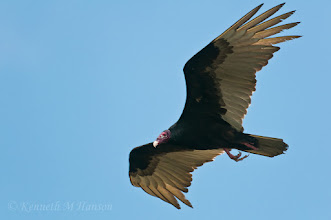 Photo: Turkey vulture