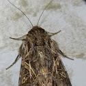 Mediterranean Brocade moth
