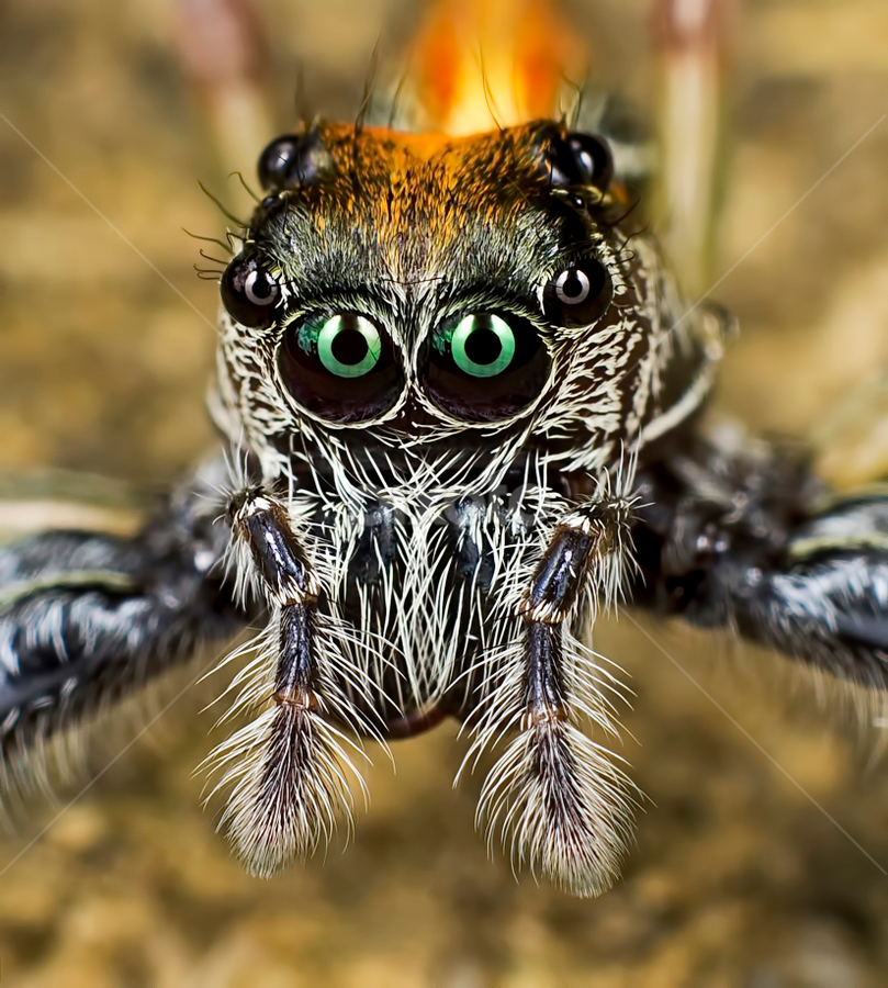 Jumper Spider by Wan Aspire - Animals Insects & Spiders ( canon, macro, animals, 1100d, spider,  )