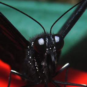 what big eyes you have   by Paul Rayney - Animals Insects & Spiders ( butterfly, compound eye, insect, eye )