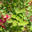 Tartian Honeysuckle