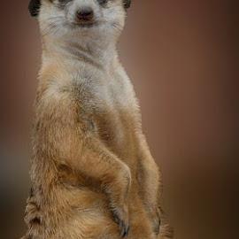 Meerkat by Marissa Enslin - Digital Art Animals (  )