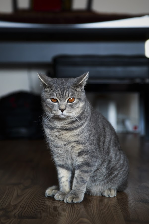 Tommy by Ionel Covariuc - Animals - Cats Kittens ( picture, kitten, cat, cute, british shorthair, domestic, domestic cat, animal )