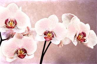Photo: ...floral elegance...  Happy Friday/Floral Friday Everyone  My favorite day of the week, and what a better photo to celebrate it...Another artistically presented photo of my lovely orchid...  HAVE A GREAT DAY!   Contribution to #floralfriday  +FloralFriday by +Tamara Pruessner; #breakfastclub  +Breakfast Club by +Gemma Costa; #colorsonfriday +ColorsOnFriday by +Karsten Meyer and +Britta Rogge; #paintitclub  +PaintIt Club by +Richard Mabb, +Celso Carvalho, +Clare Bambers, +Rick Leaf, +k phelps, +Carol Small, +Astrid Bartels, +Elin Vaeth, +Stefan Kierek and myself; #textureblendphotography  +Texture Blend Photography by +Gemma Costa;   View larger image and more works from Flowers Creative Gallery: http://milenailieva.smugmug.com/Galleries/Flowers-Creative/23846371_9QKp92#!i=2335629375&k=QHXsR9z&lb=1&s=A