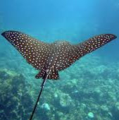 user Cutie the Spotted Eagle Ray apkdeer profile image