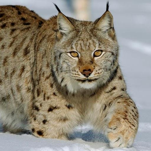 Miss Lynxie