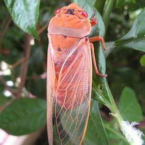 Pink Cicada avatar