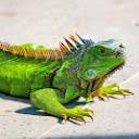 Harry Iguana