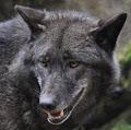 Apollo The Wolf's profile image